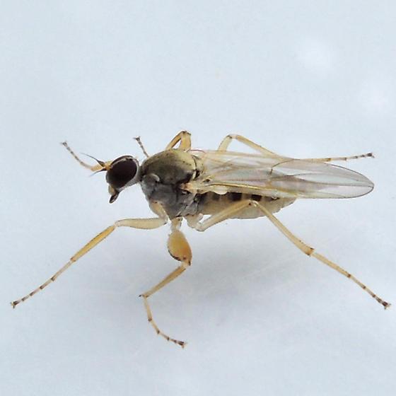 hybotid dance fly - Platypalpus - female