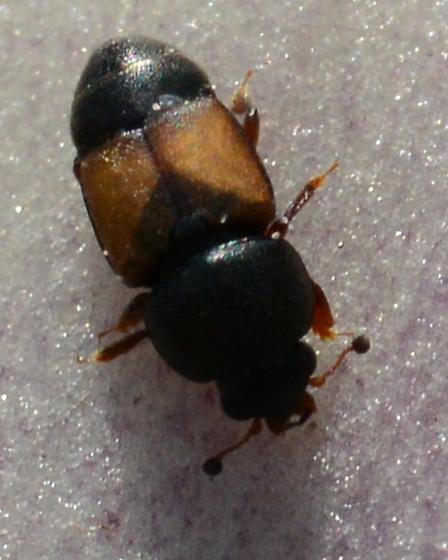 Tiny Yucca Beetle - Nitops pallipennis