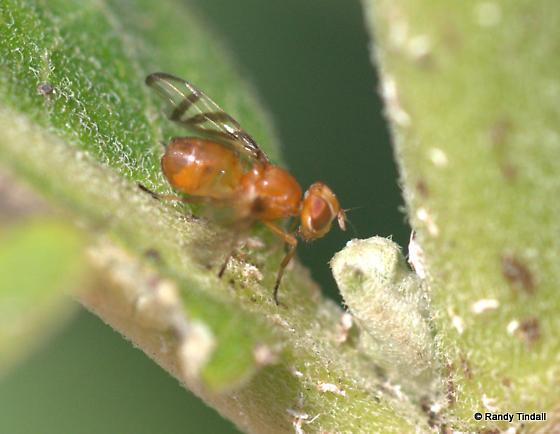 Fruit Fly:  Parastenopa or Euleia? - Rivellia