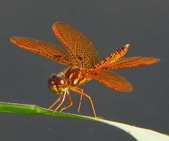 Eastern Amberwings male vs female? - Perithemis tenera - male