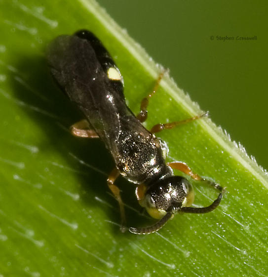 Very small wasp on corn - Alysson triangulifer - male