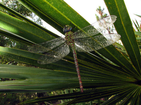 Dewy Dragon - Coryphaeschna adnexa - female