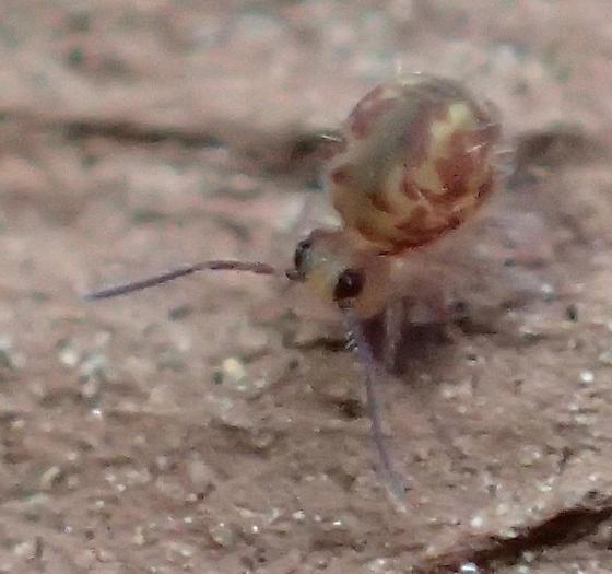 Springtail - Sphyrotheca minnesotensis