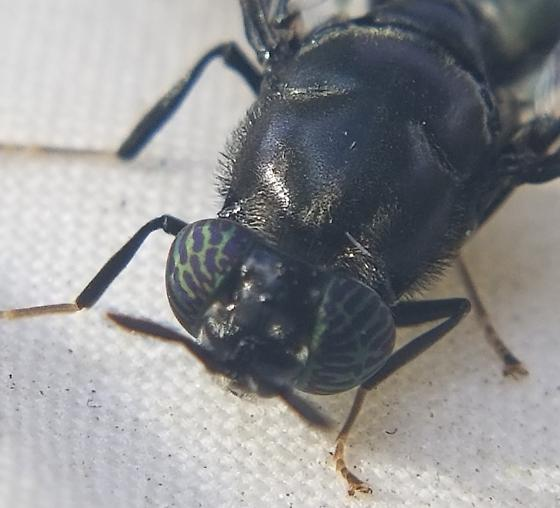 Insect with see through segment. - Hermetia illucens