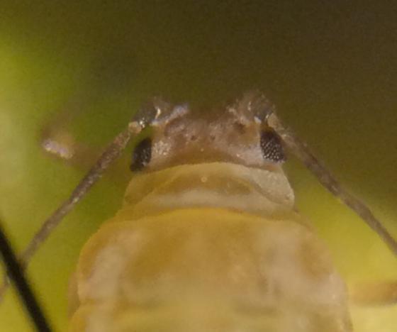 Aphids - Lipaphis pseudobrassicae