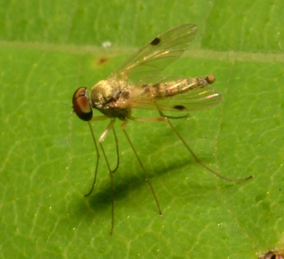 Fly ID  - Chrysopilus modestus - male
