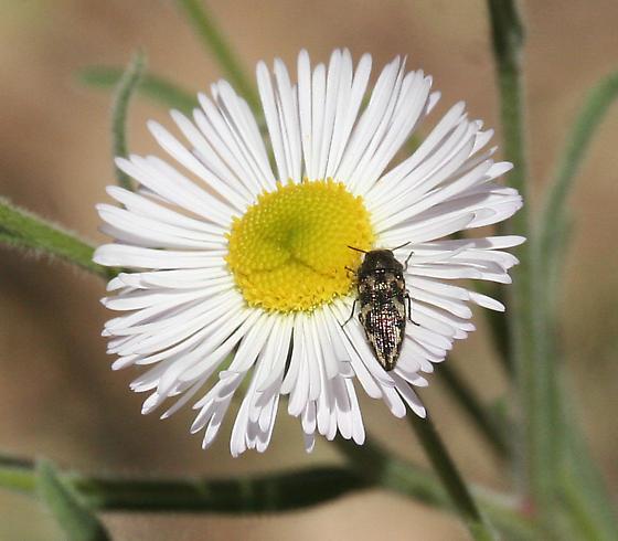 Bug on Flower - Acmaeodera