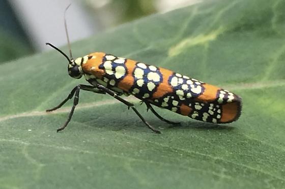 Orange bug w/white spots in black stripe-like areas - Atteva aurea