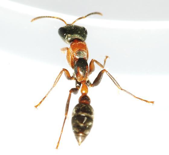 Id request - Pseudomyrmex gracilis