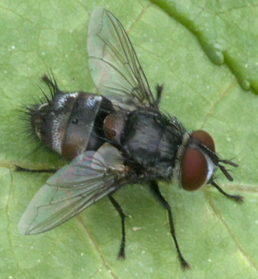 Tachnid fly with brown and gray bands - Winthemia