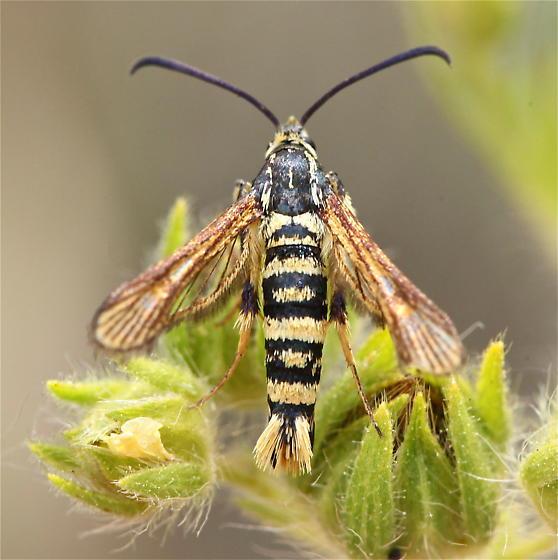 Sesiidae: Penstemonia or Synanthedon? - Synanthedon bibionipennis - female