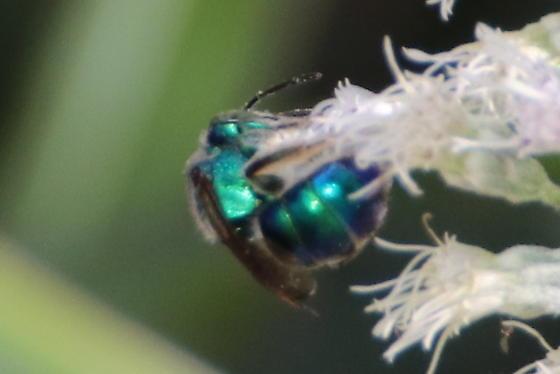 Another metallic bee - Augochloropsis