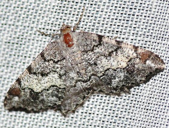 Granite Moth, 6352 - Macaria granitata