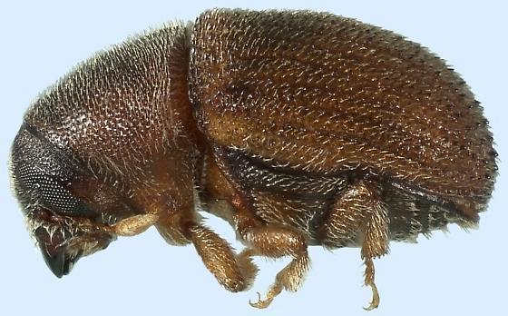 Phloeosinus dentatus
