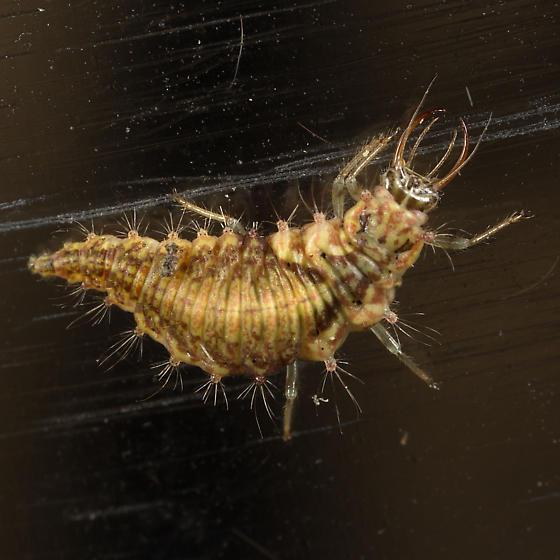 Immature Heteroptera Perhaps ?
