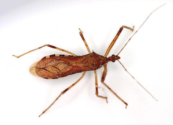 Rocconota annulicornis