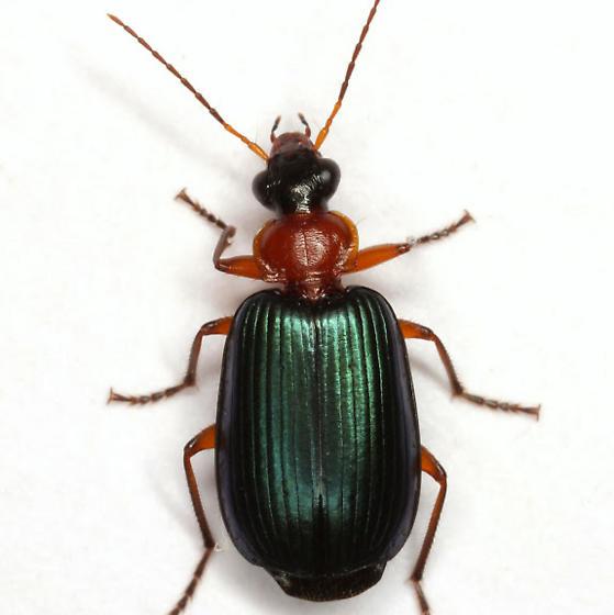 Lebia atriceps LeConte - Lebia atriceps