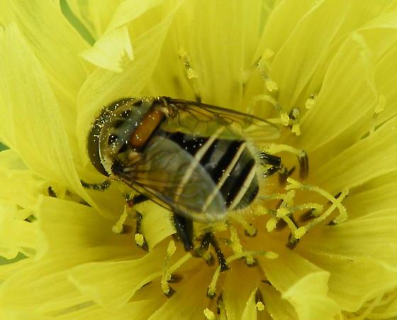 Is this a bee fly? - Palpada texana