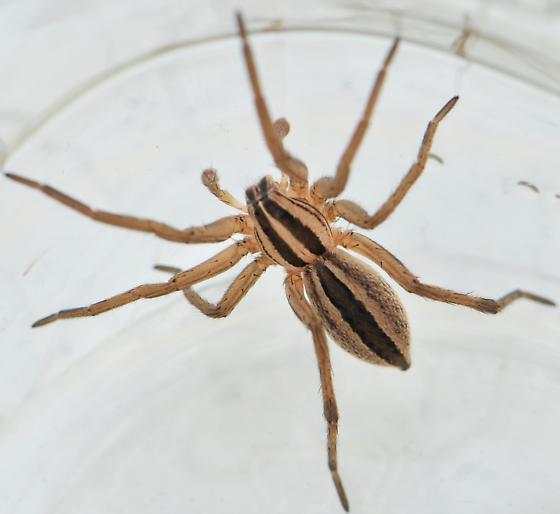 Dotted Wolf Spider (Rabidosa Punctulata)