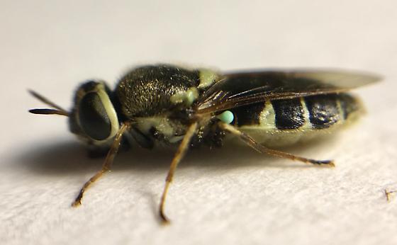 Diptera - Psellidotus