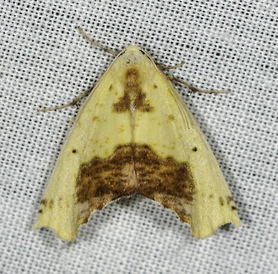 Sicya - Sicya macularia - female