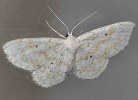 Moth - Idaea obfusaria