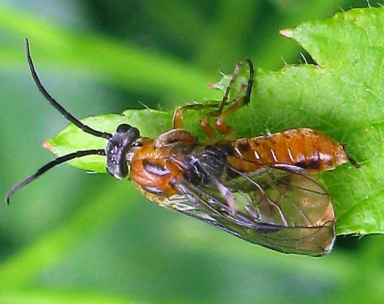 Sawfly - Pristiphora bivittata