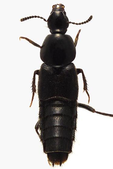 Rove Beetle - Acylophorus pratensis
