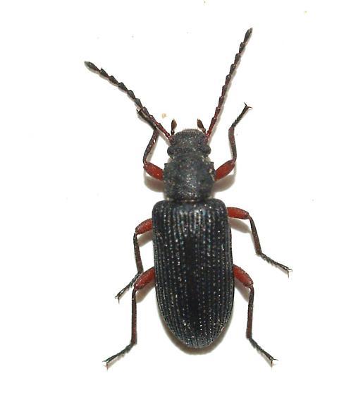 teneb - Helops arizonensis