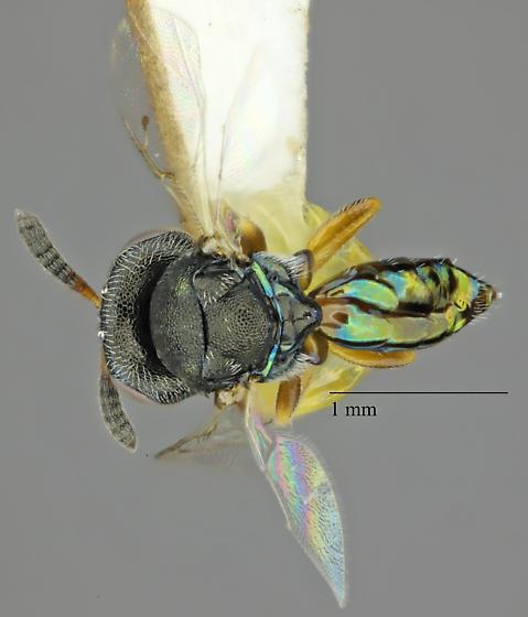 Psilocera