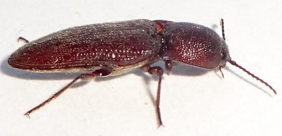 Aeolus  sp.  ? - Melanotus