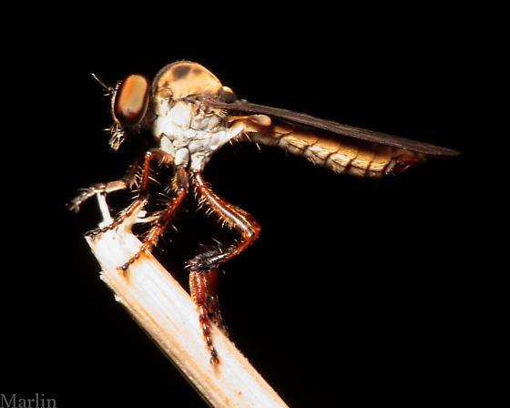 Smallish Robber Fly - Holcocephala abdominalis