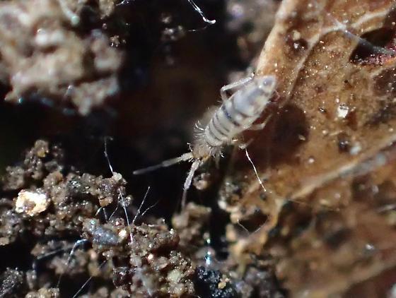 Entomobryidae - Entomobrya atrocincta