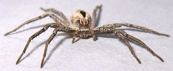 Wolf Spider? - Thanatus