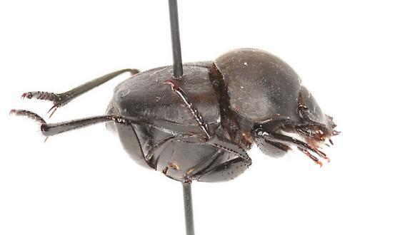 Melanocanthon sp - Melanocanthon granulifer
