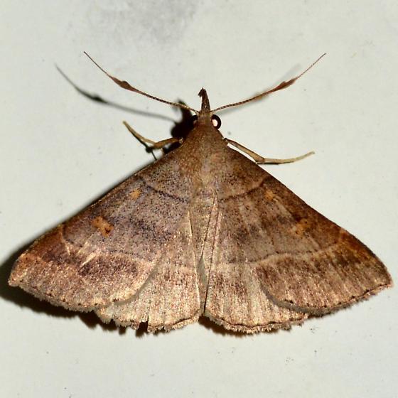 Renia sp. #1 - Renia flavipunctalis - male