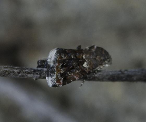 Tiny moth - Tripudia luxuriosa