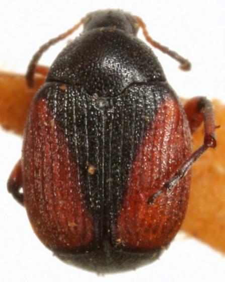 Sennius cruentatus (Horn) - Sennius cruentatus