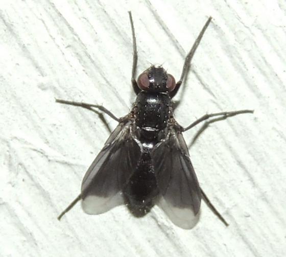 Black Fly sp. - Melanophora roralis - female