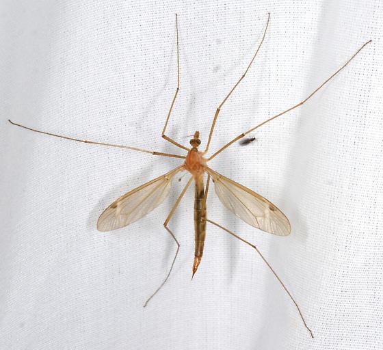 Crane fly ? - female