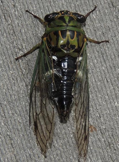 Cicada sp? - Neotibicen latifasciatus