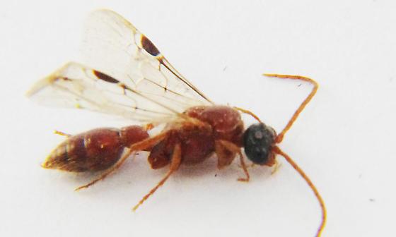 Tiphiidae - male