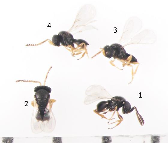 Platygastridae, ex moth eggs - Telenomus