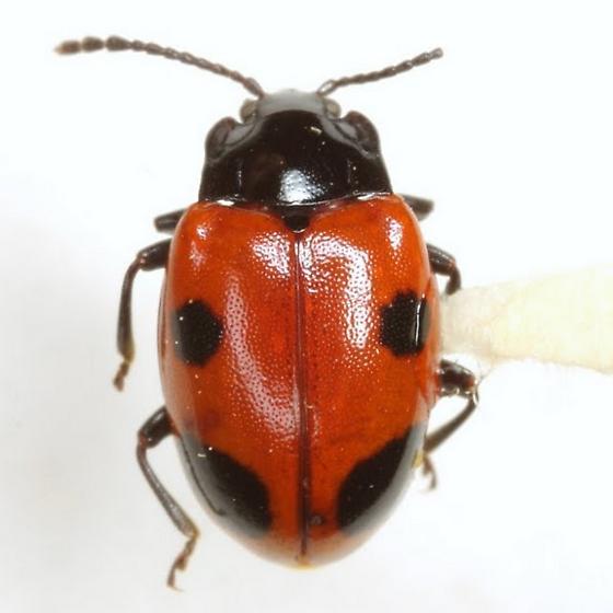 Endomychus biguttatus Say - Endomychus biguttatus