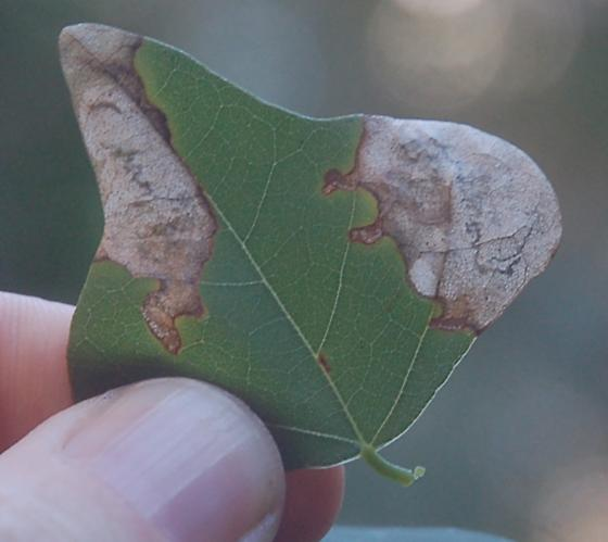 Sebastian Inlet State Park leaf miner on Erythrina herbacea D1242 2018 4 - Leucoptera erythrinella