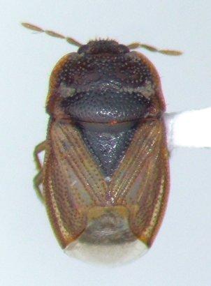 Amnestus pusillus - female