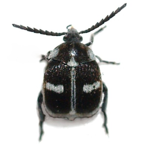 Bruchinae - Zabrotes spectabilis