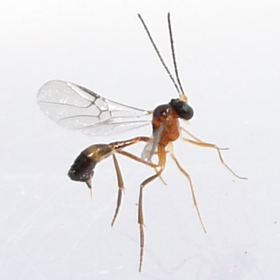 wasp - Hybrizon - female