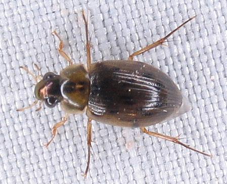 Haliplidae? - Berosus - male