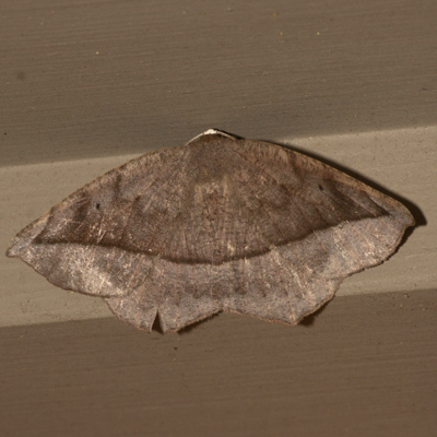 Curve-toothed Geometer Moth - Hodges #6966 - Eutrapela clemataria